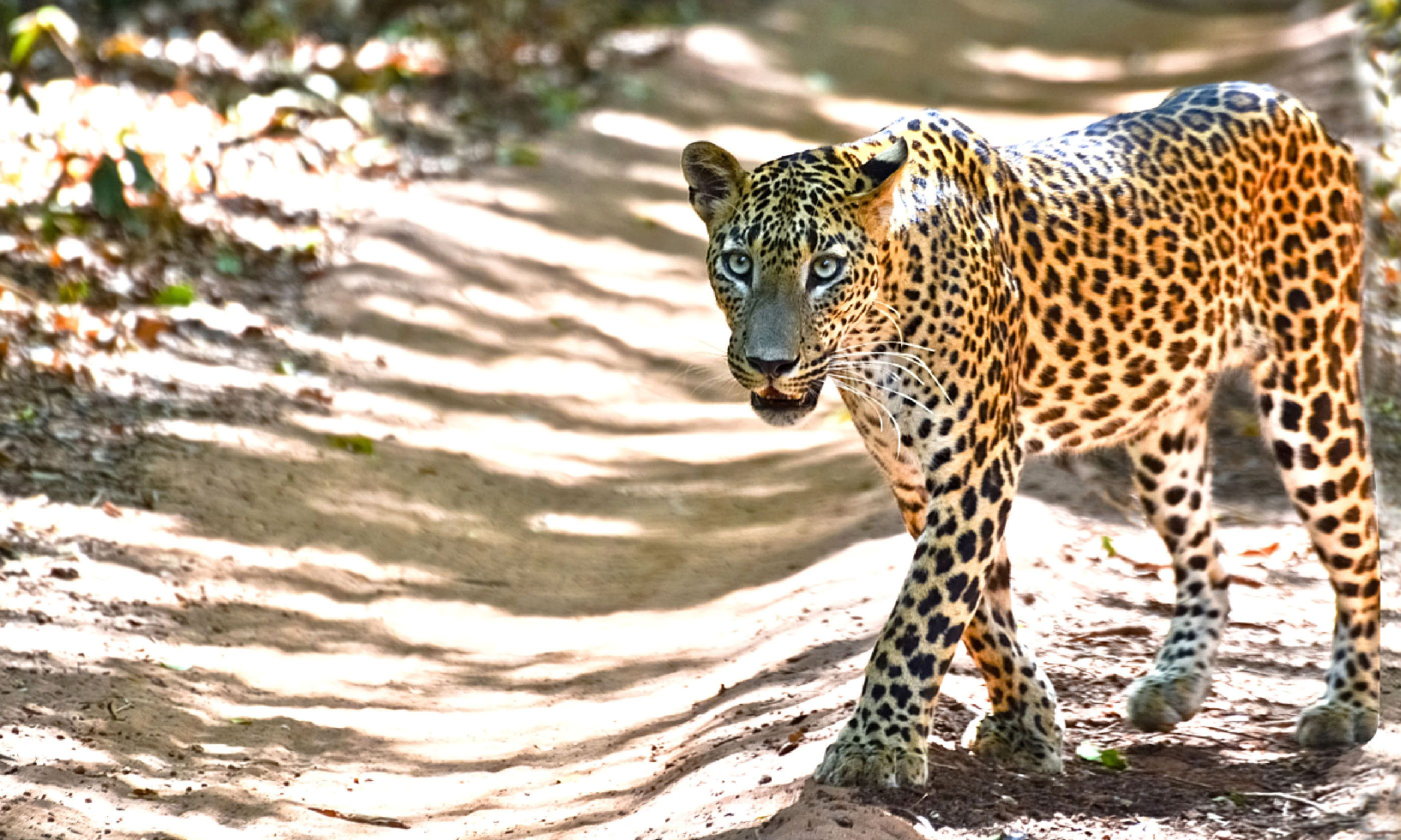 Leopard in Wilpattu National Park (Dreamstime)