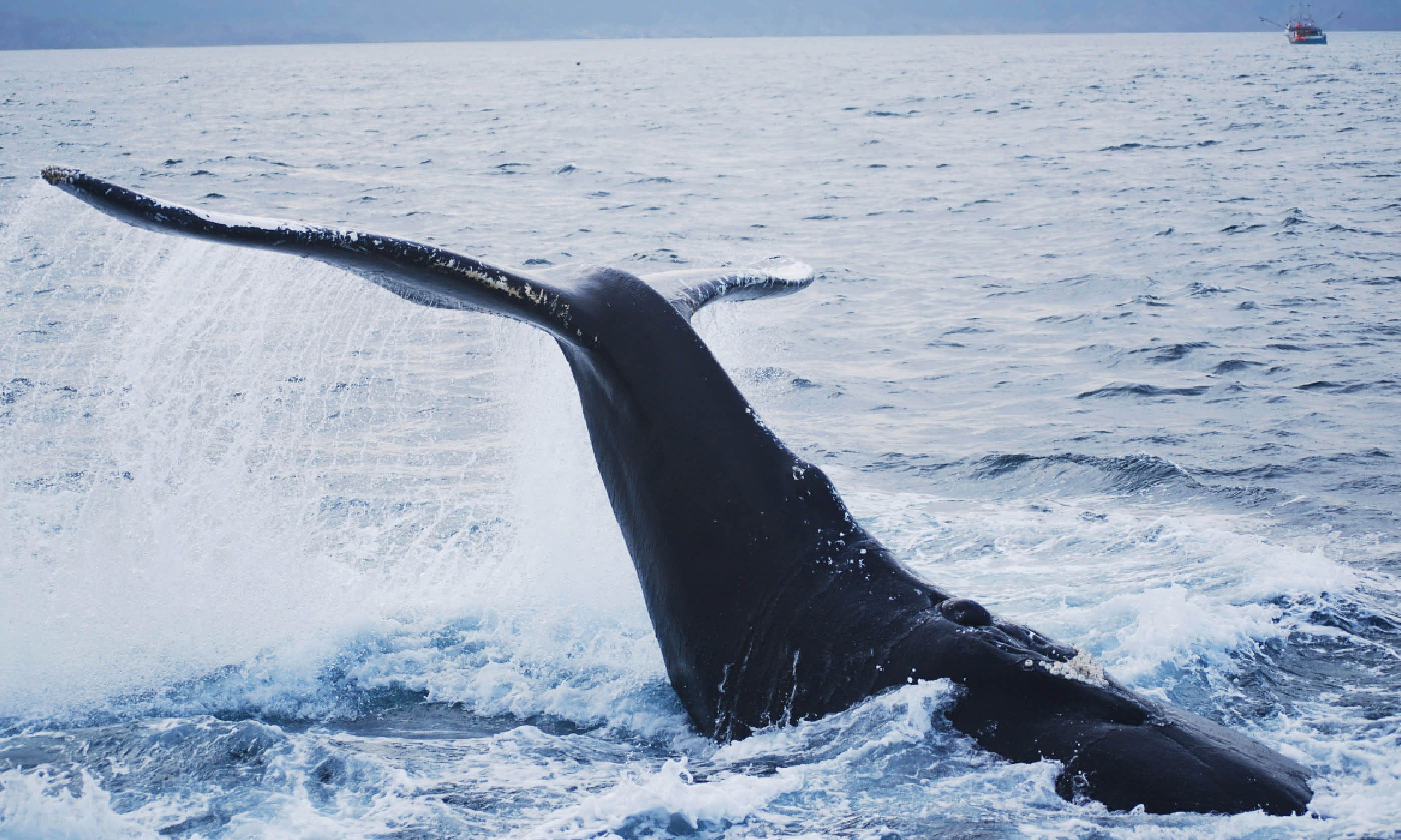 A humpback whale at St. John's harbour (Shutterstock)