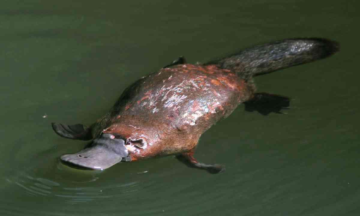 Duck-billed platypus (Shutterstock)