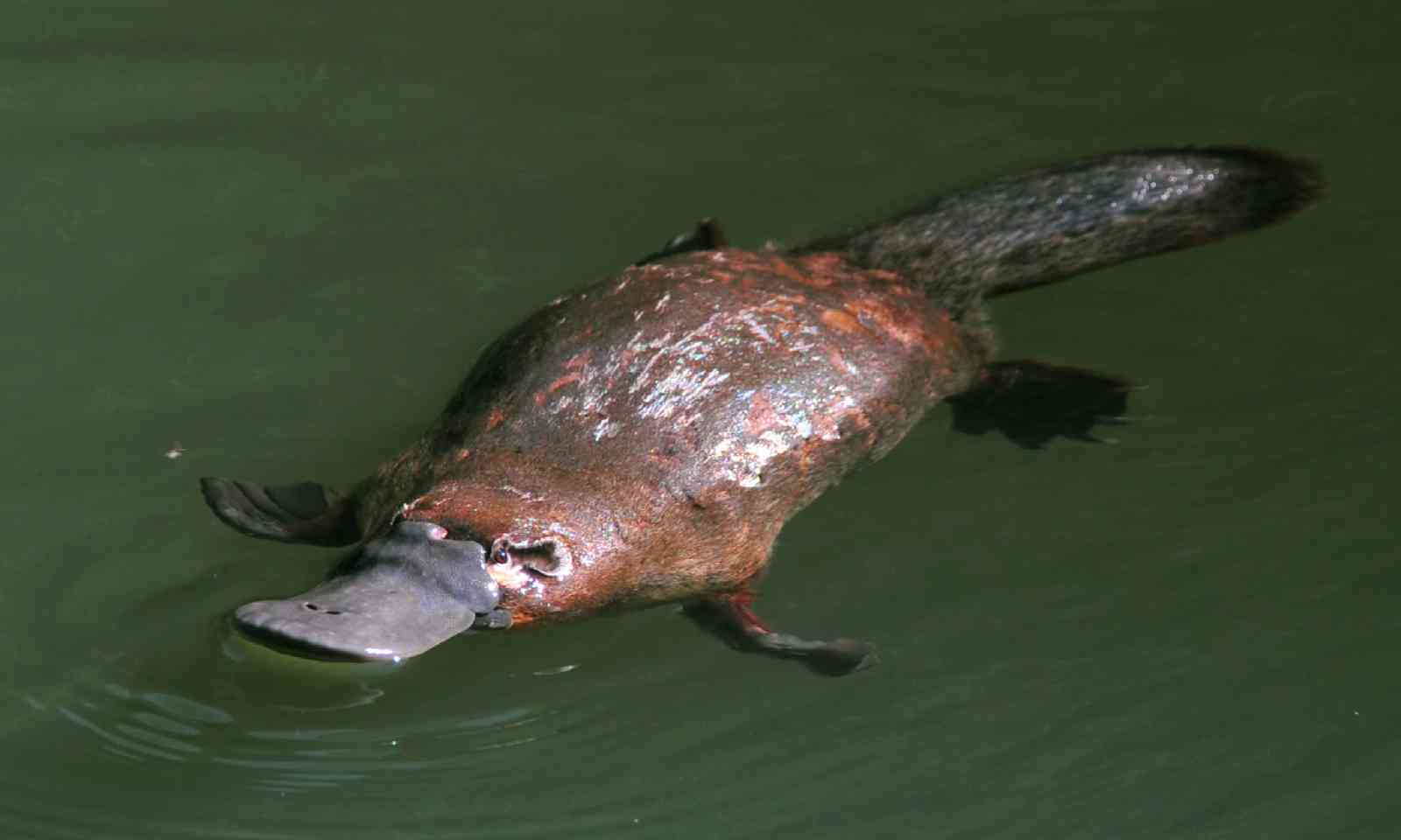 Duck-billed platypus (Shutterstock)