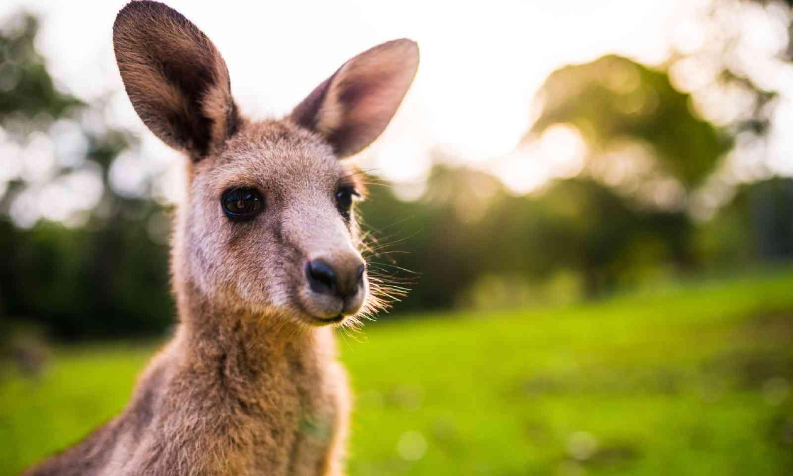 Eastern grey kangaroo (Shutterstock)