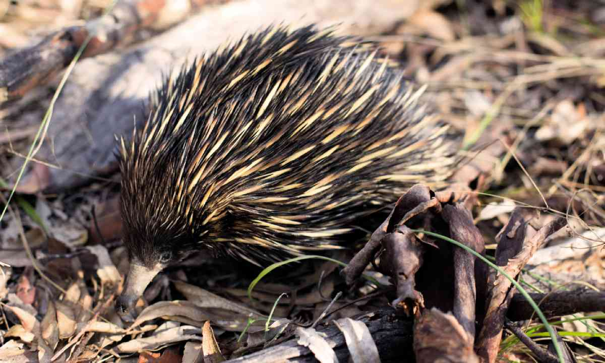 Echidna in Carnarvon gorge (William Gray)
