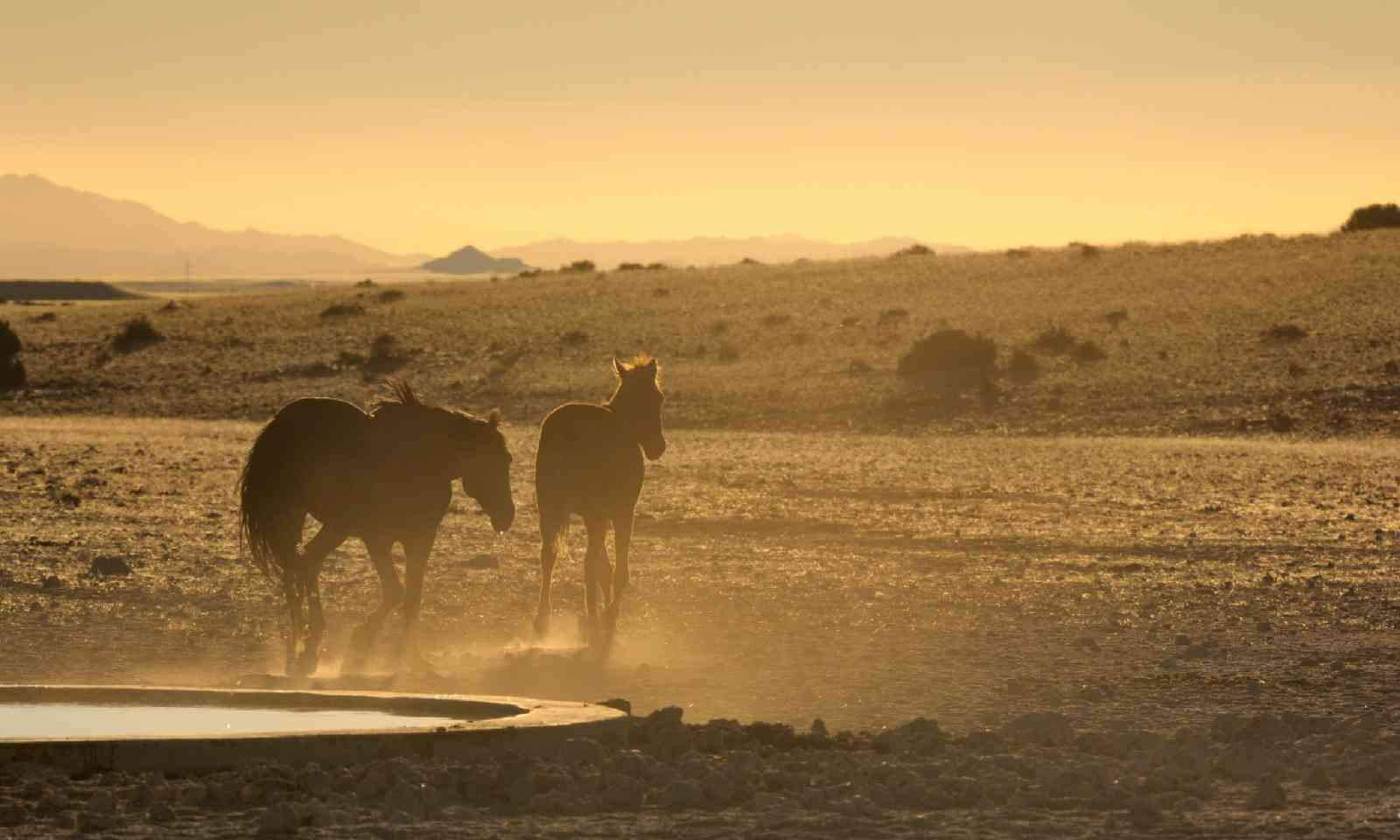 Wild horses of the Namib at sunset (Shutterstock)