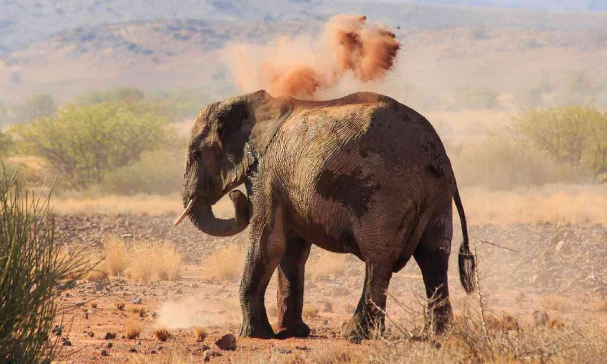 Desert elephant taking a dust bath (Shutterstock)