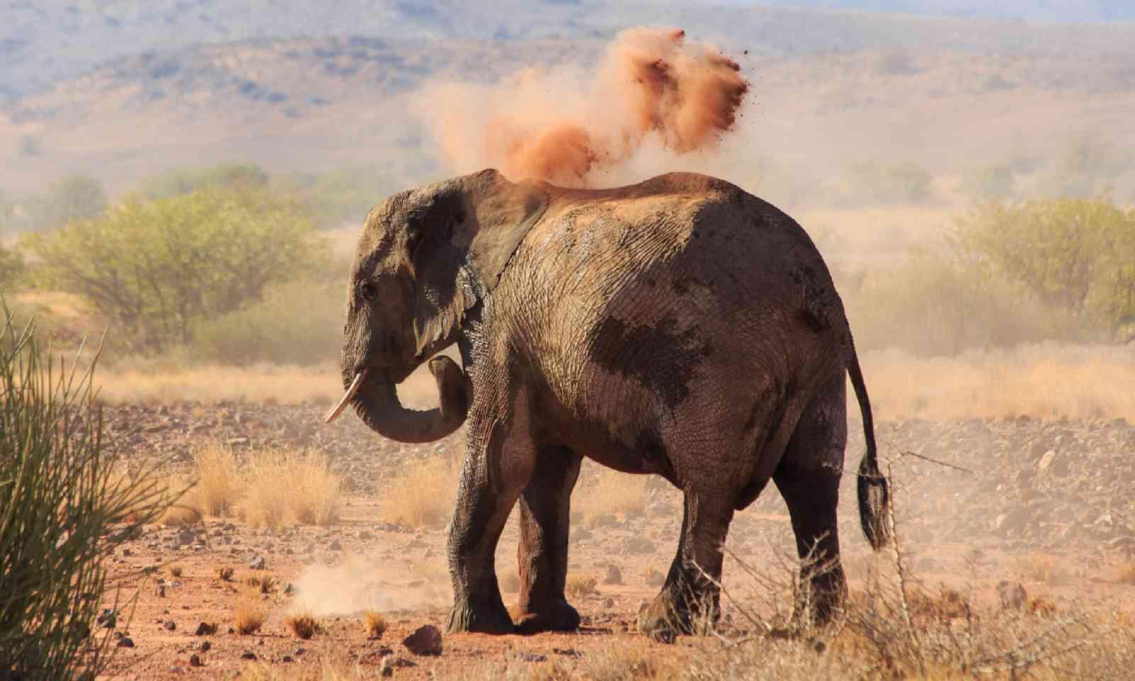 Desert elephant taking a dust bath (Shutterstock)