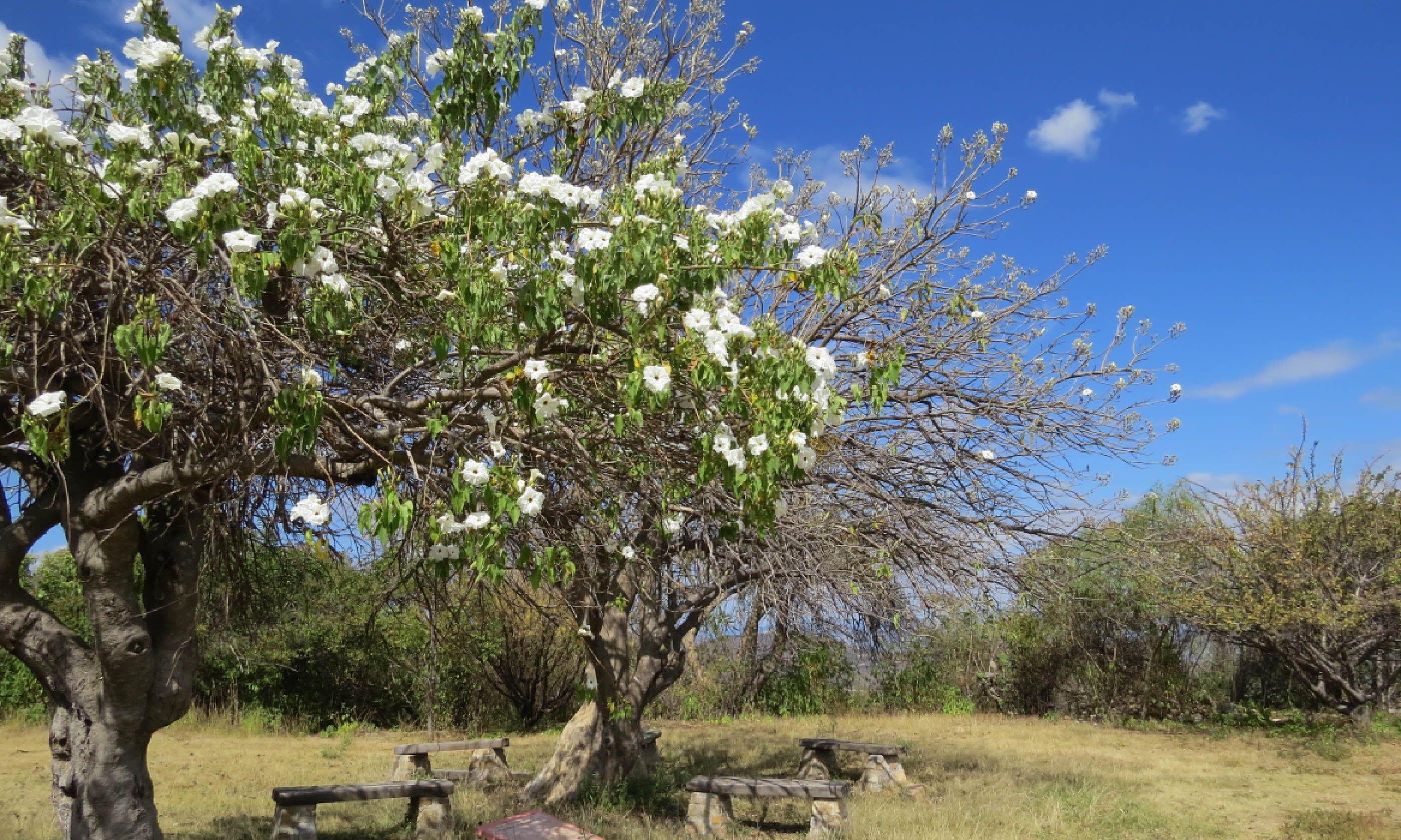 Casahuate trees (Hazel Plush)
