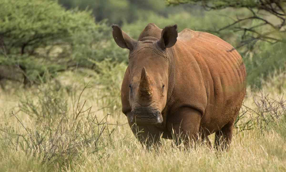 White Rhino, Mokala National Park (Shutterstock.com)