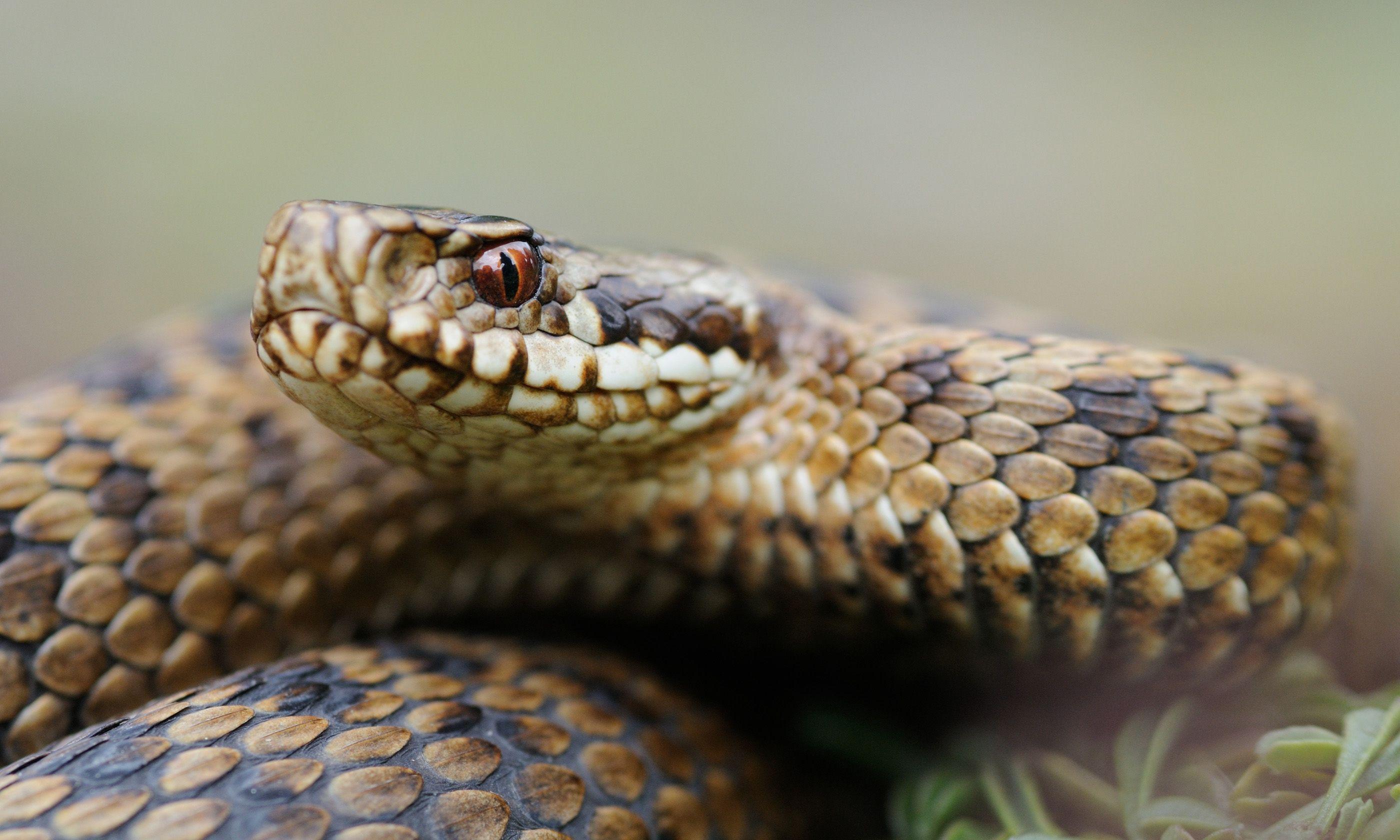 European adder (Shutterstock.com)