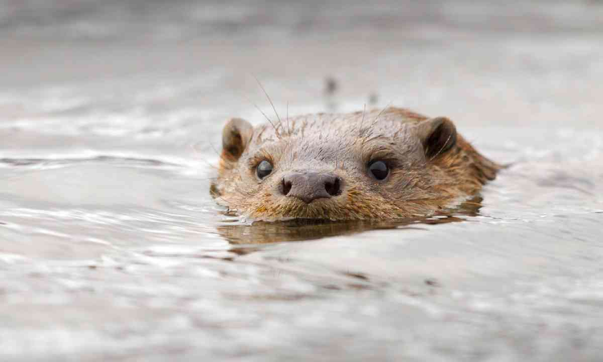 Swimming otter, Scotland (Shutterstock)