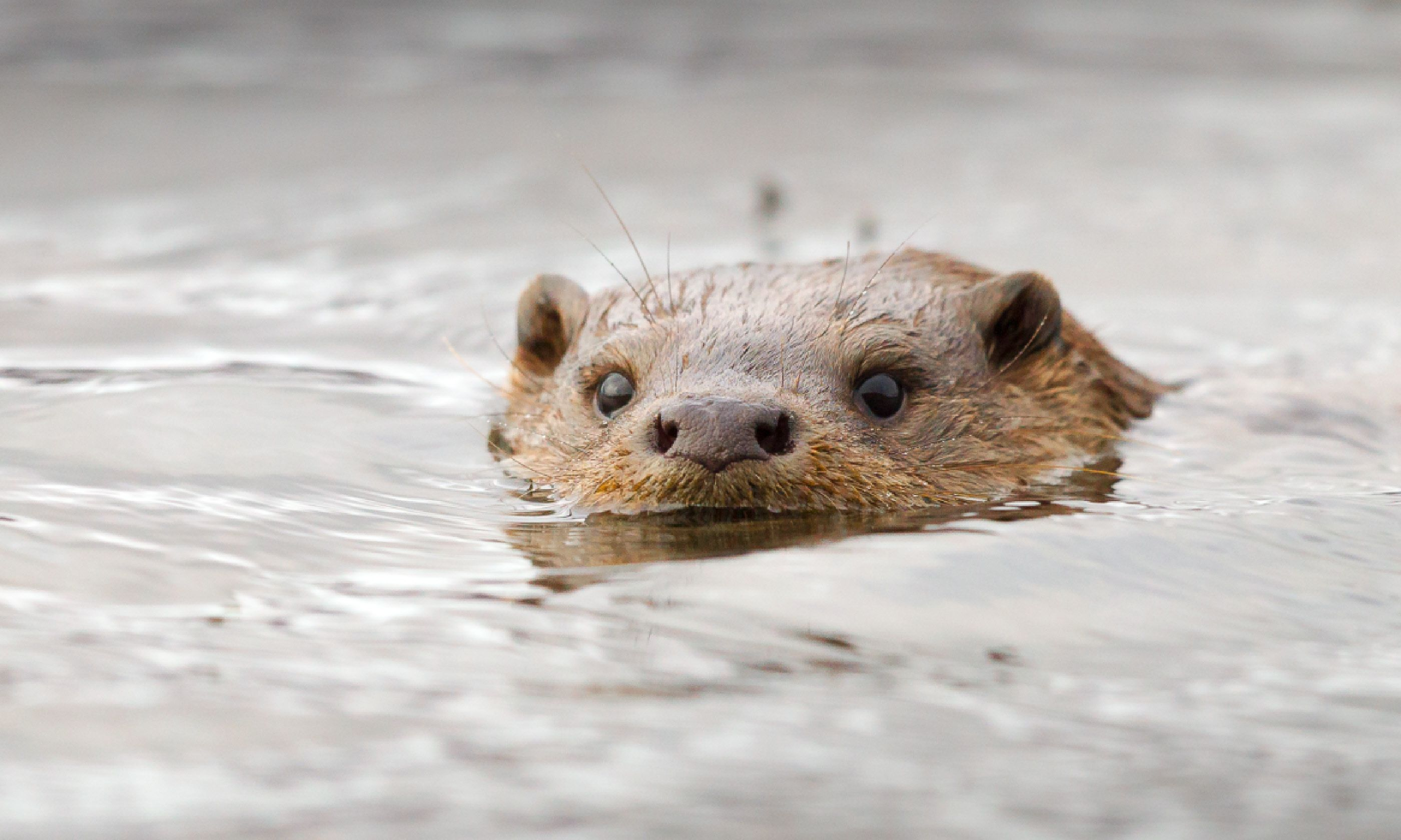 Swimming otter, Scotland (Shutterstock)