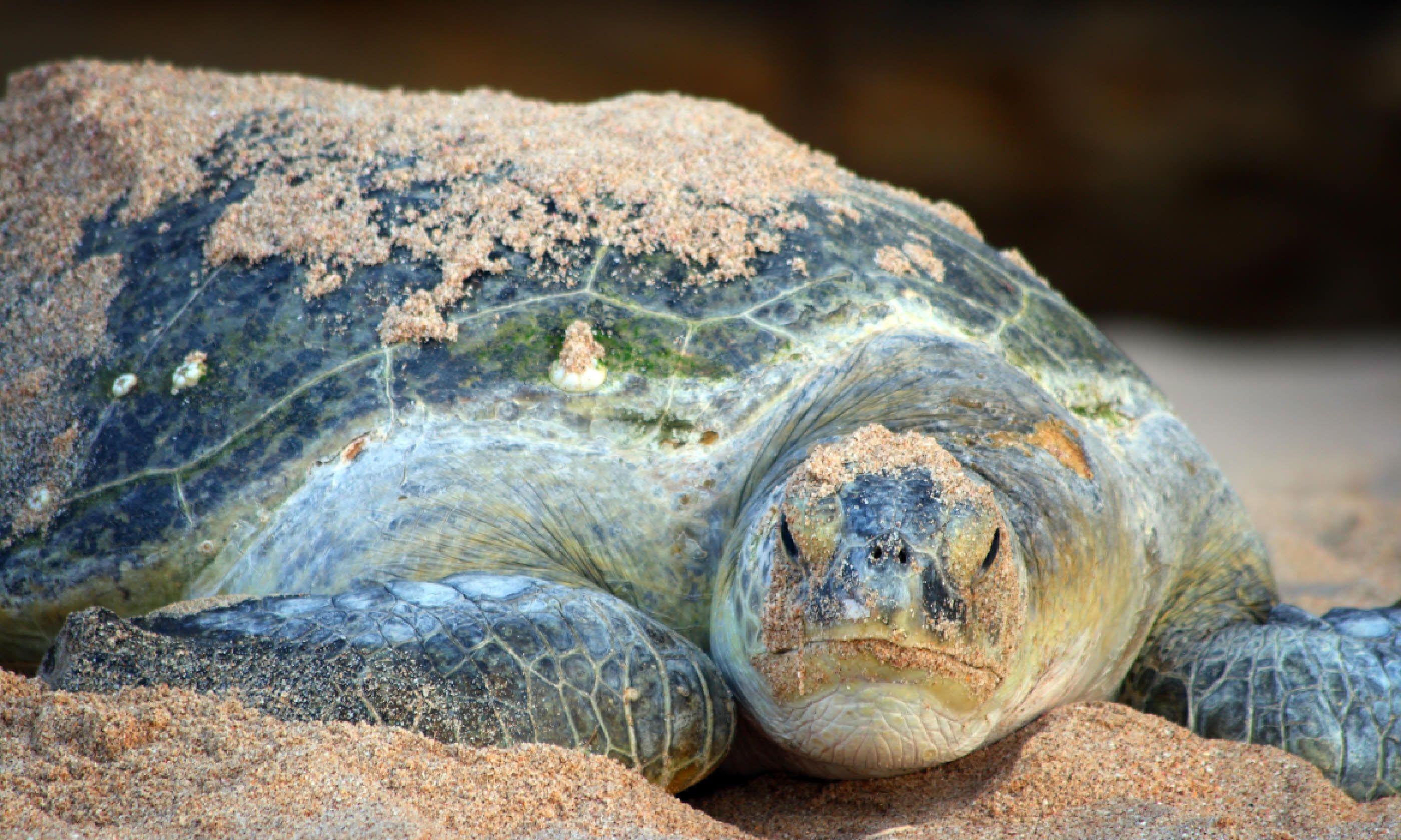 Green turtle at Ras al Jinz (Dreamstime)
