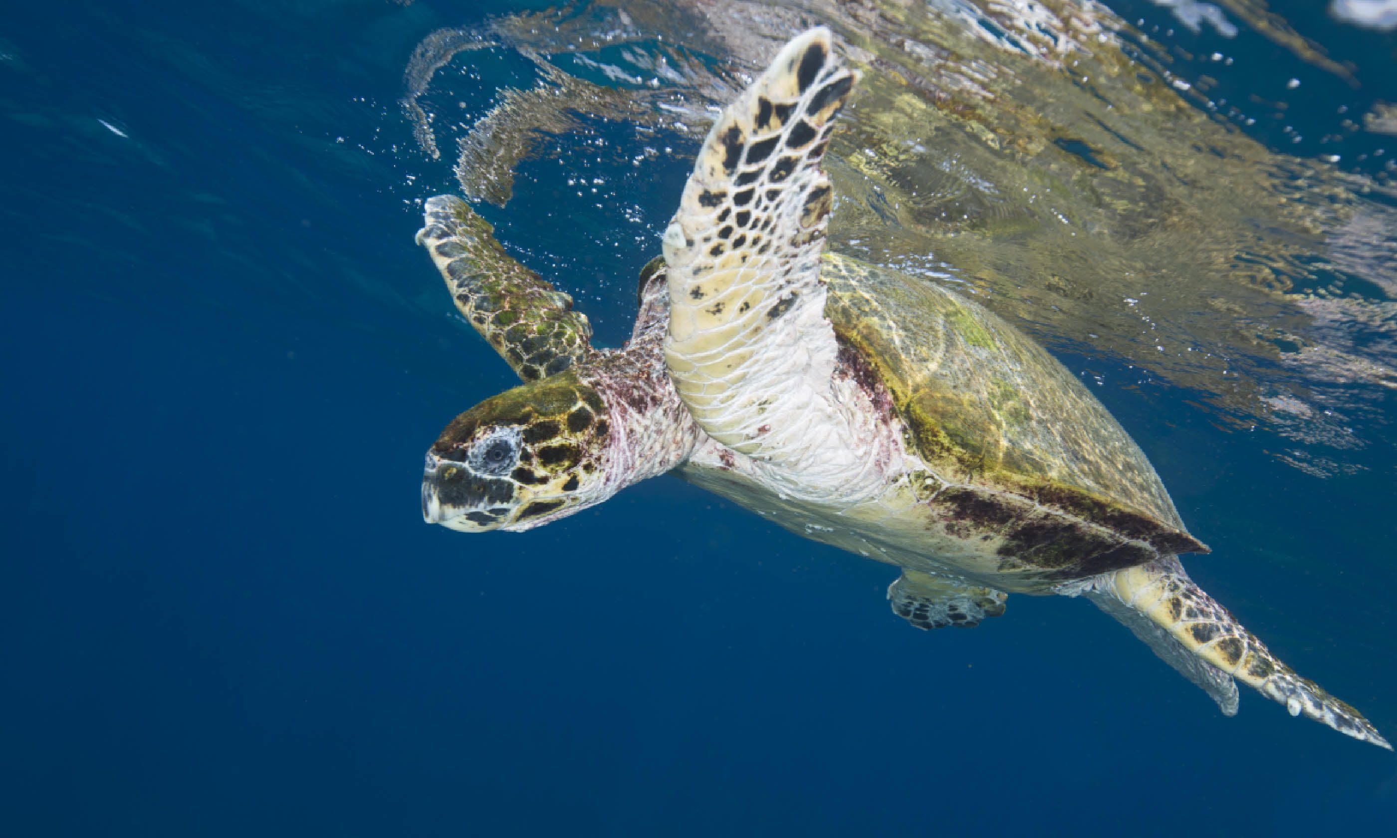 Green turtle swimming off the coast of Oman (Shutterstock)