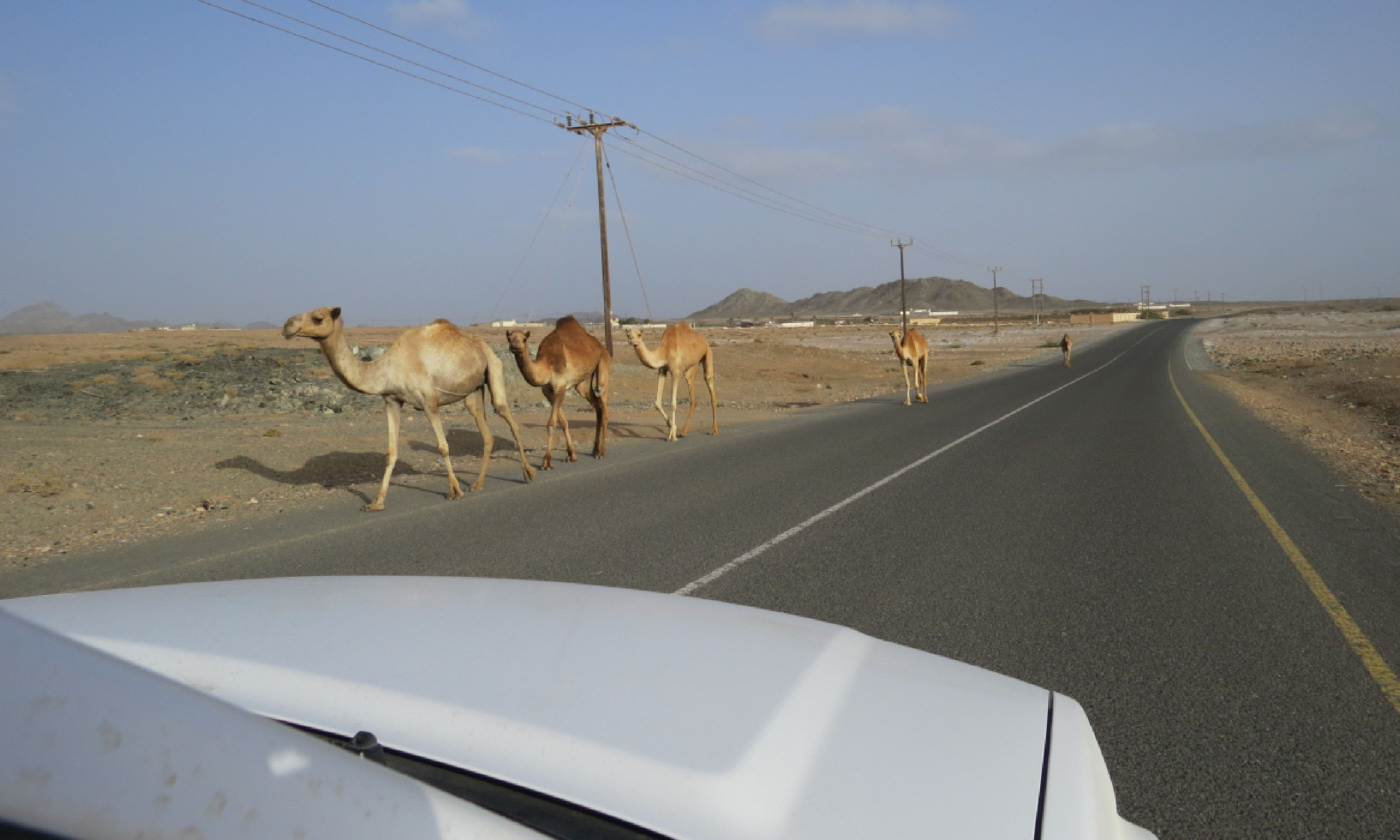 Camels on the road – a common sight (Hazel Plush)