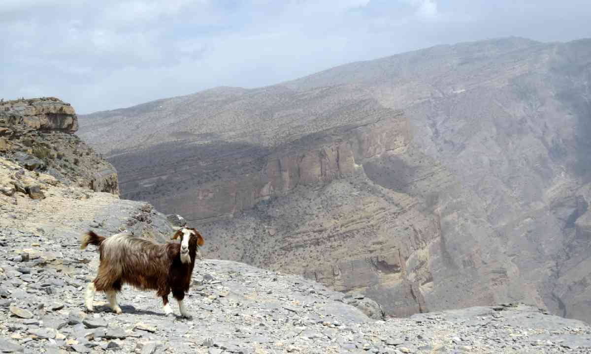 Goat at Jebel Shams (Hazel Plush)