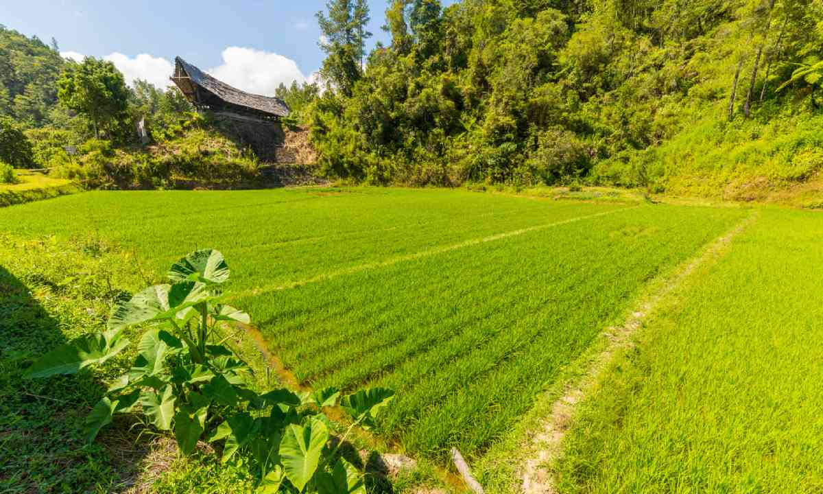 Lush green rice paddies in Tana Toraji (Dreamstime)