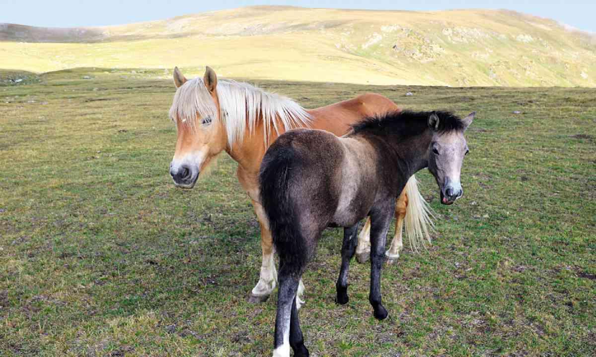 Wild horses roam Rila National Park (Martin Symington)