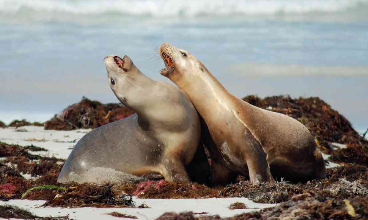 Australian sea lions on Seal Bay (Dreamstime)