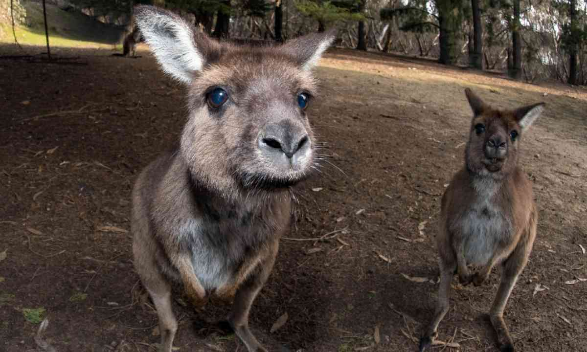 Curious Kangaroos on kangaroo island (Shutterstock)