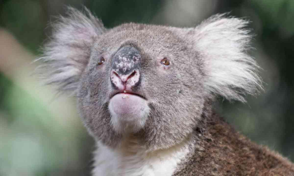 Koala bear in Hanson Bay (Shutterstock)