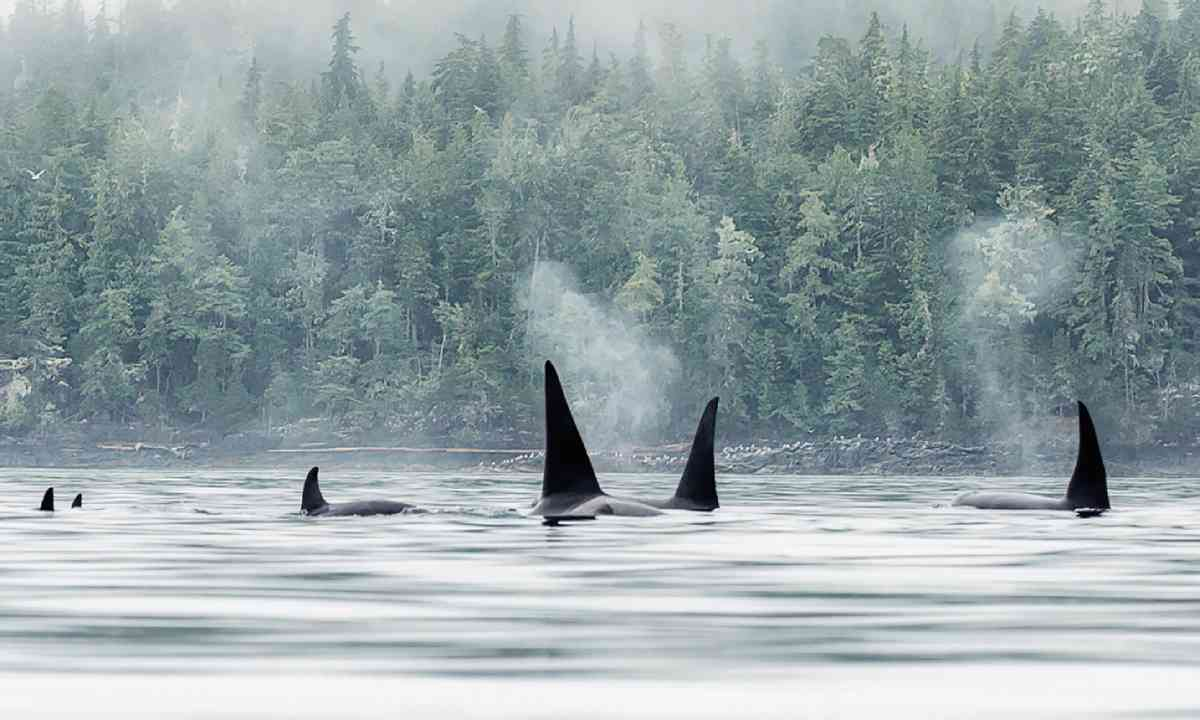 Orcas travelling in a pod (Ken Spence)