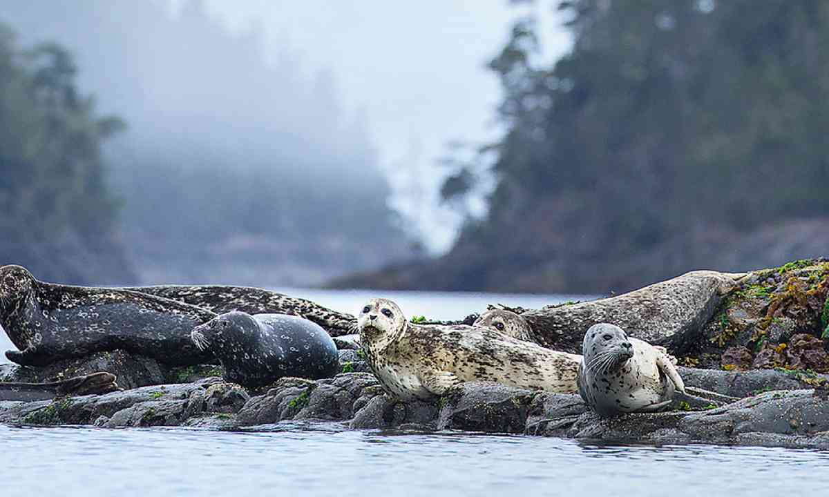 Seals keeping a nervous eye out for orca (Ken Spence)