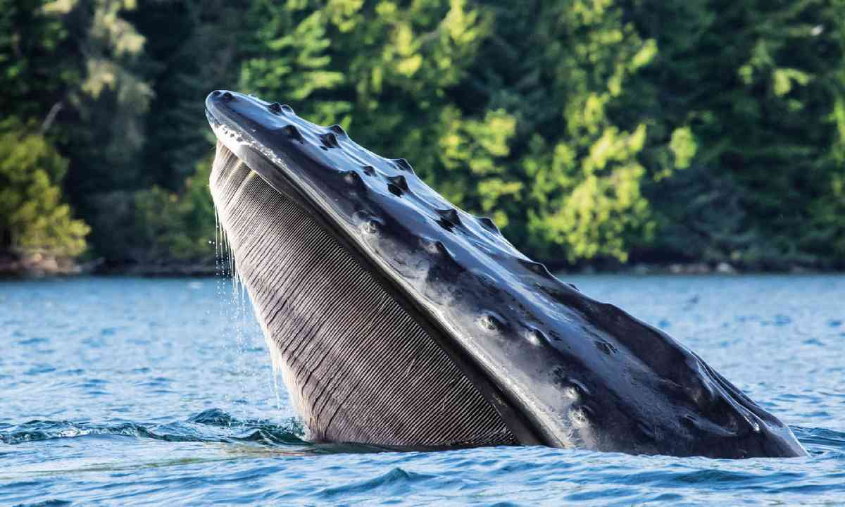 A humpback whale (Ken Spence)
