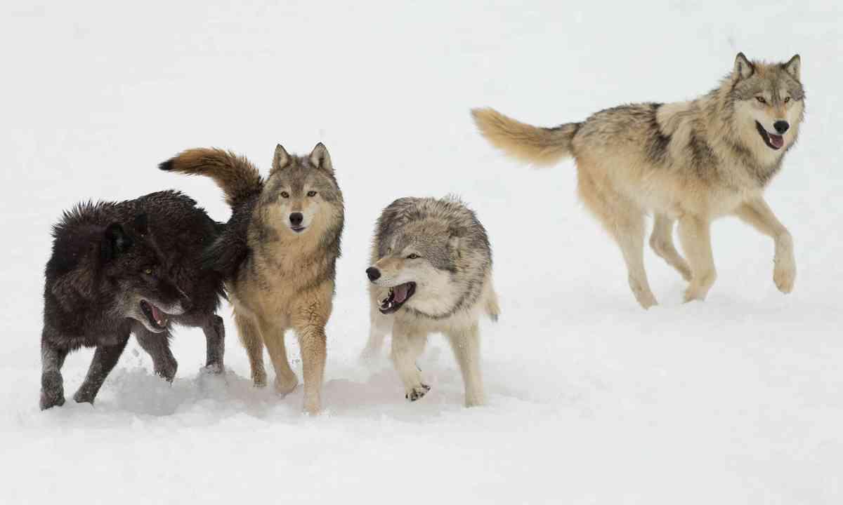 Wolf pack in snowy field (Shutterstock)