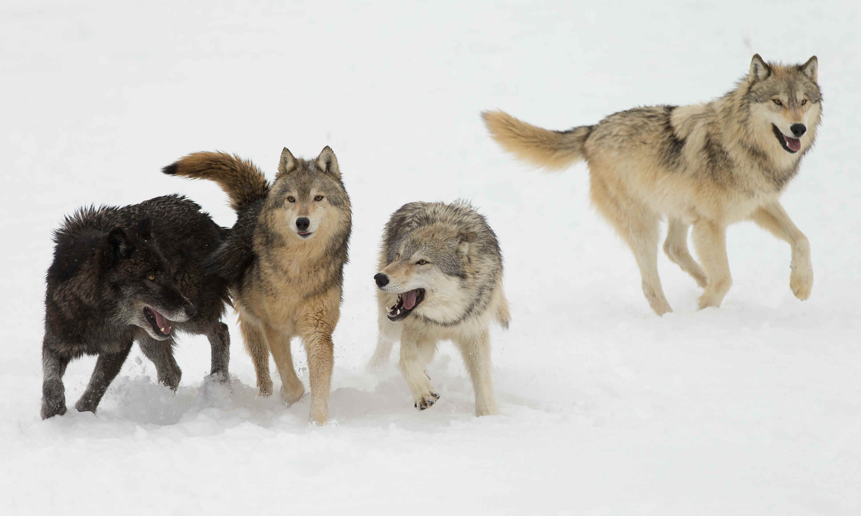 Wolf pack in snowy field (Shutterstock)
