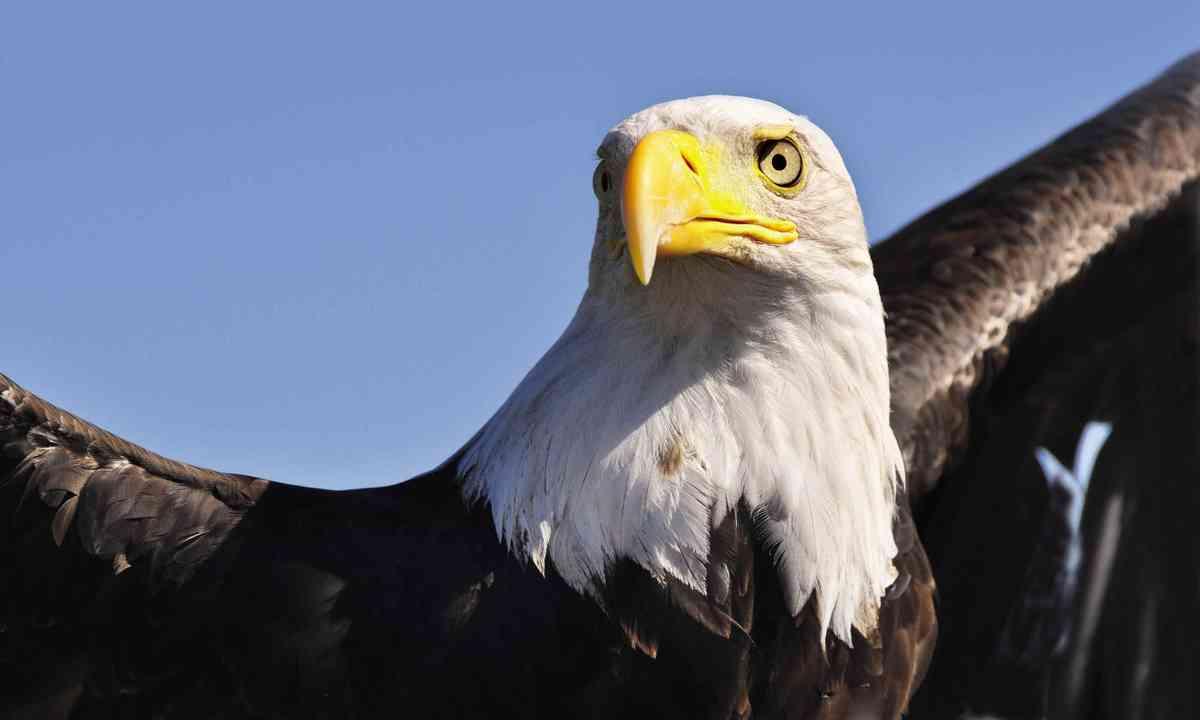 Bald eagle (Dreamstime)
