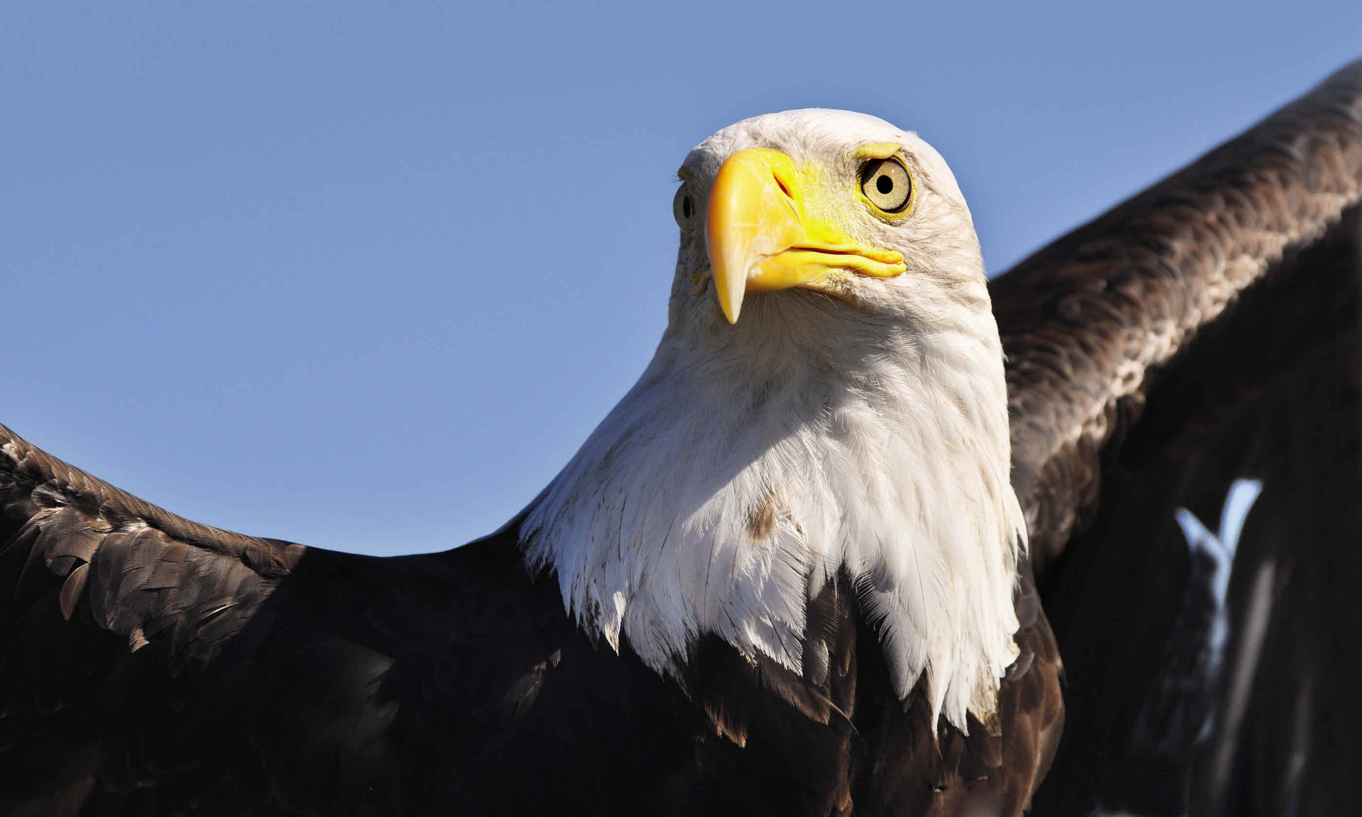 Bald eagle (Dreamstime)
