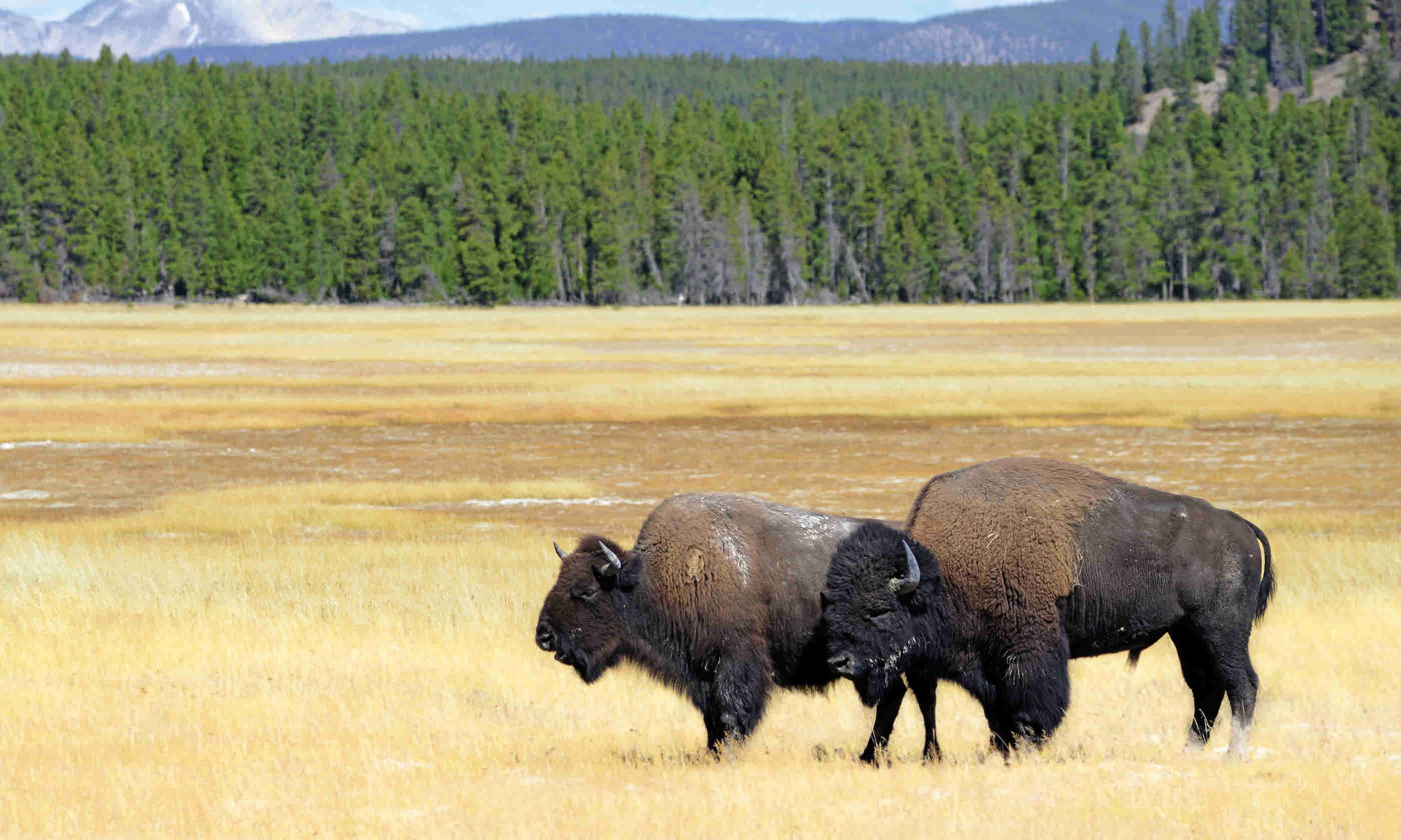 Bison (Dreamstime)
