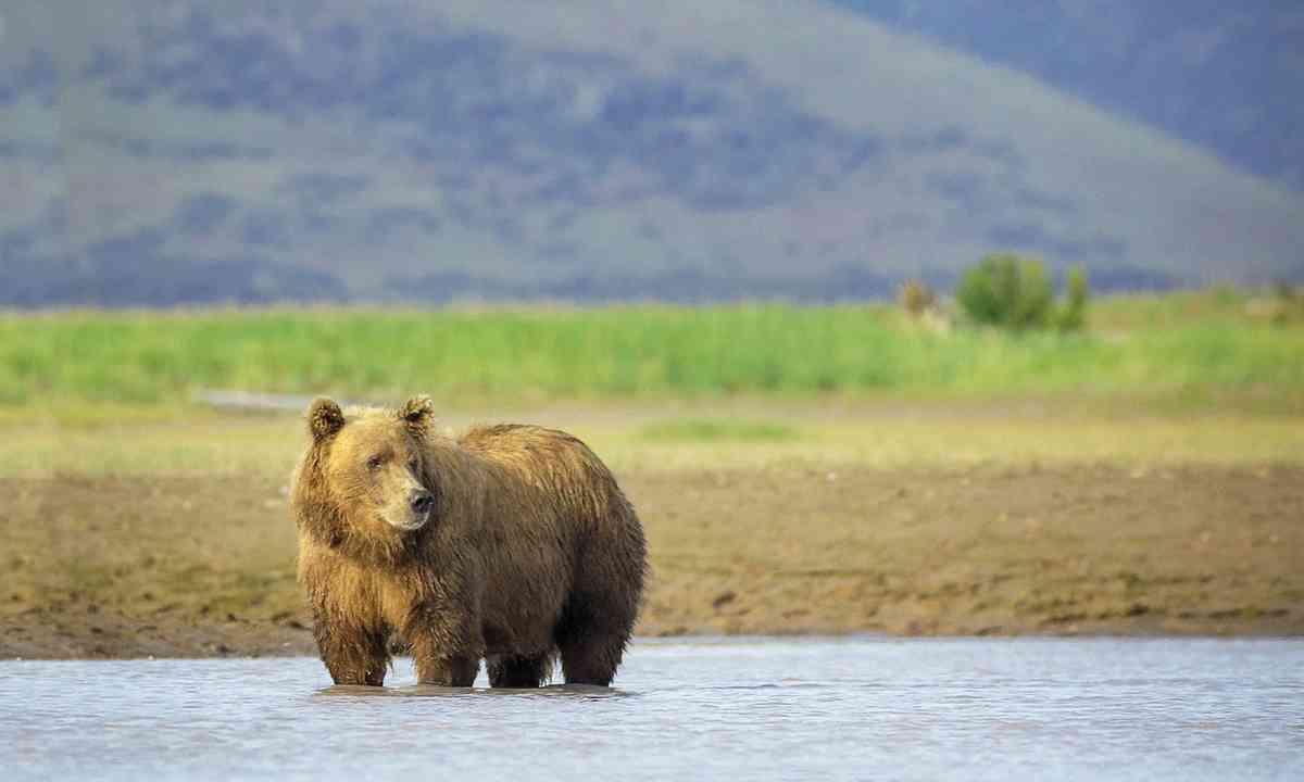 Brown bear (Dreamstime)