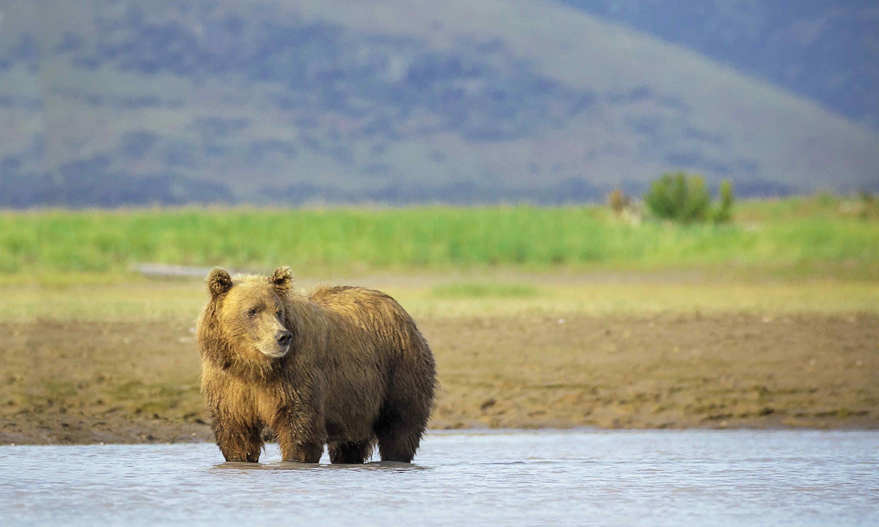 Brown bear (Dreamstime)