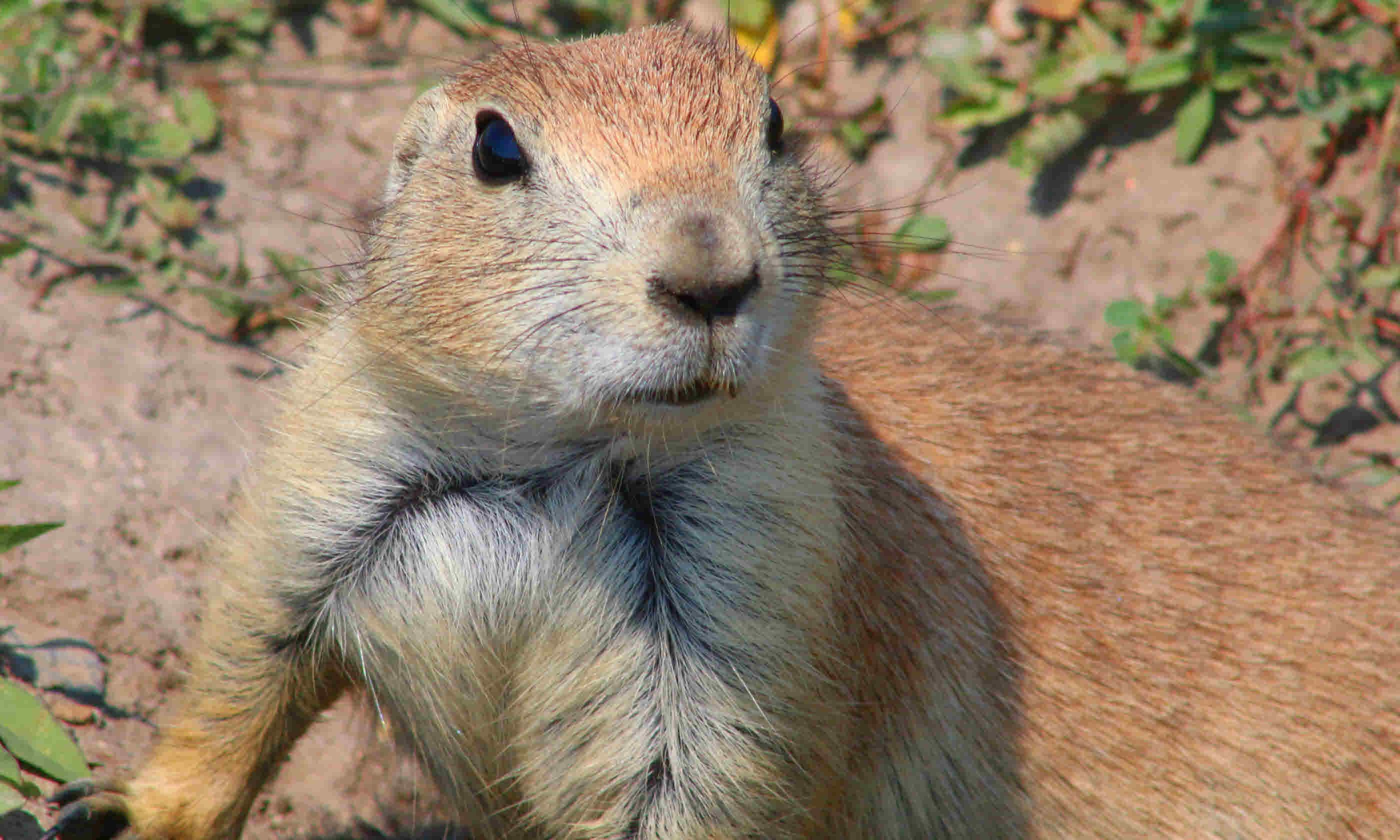 Prairie dog (Shutterstock)