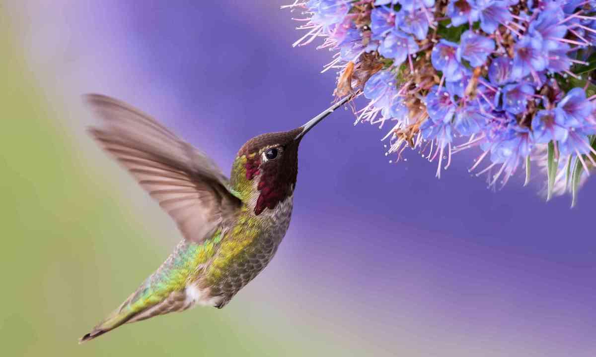 Hummingbird (Shutterstock)