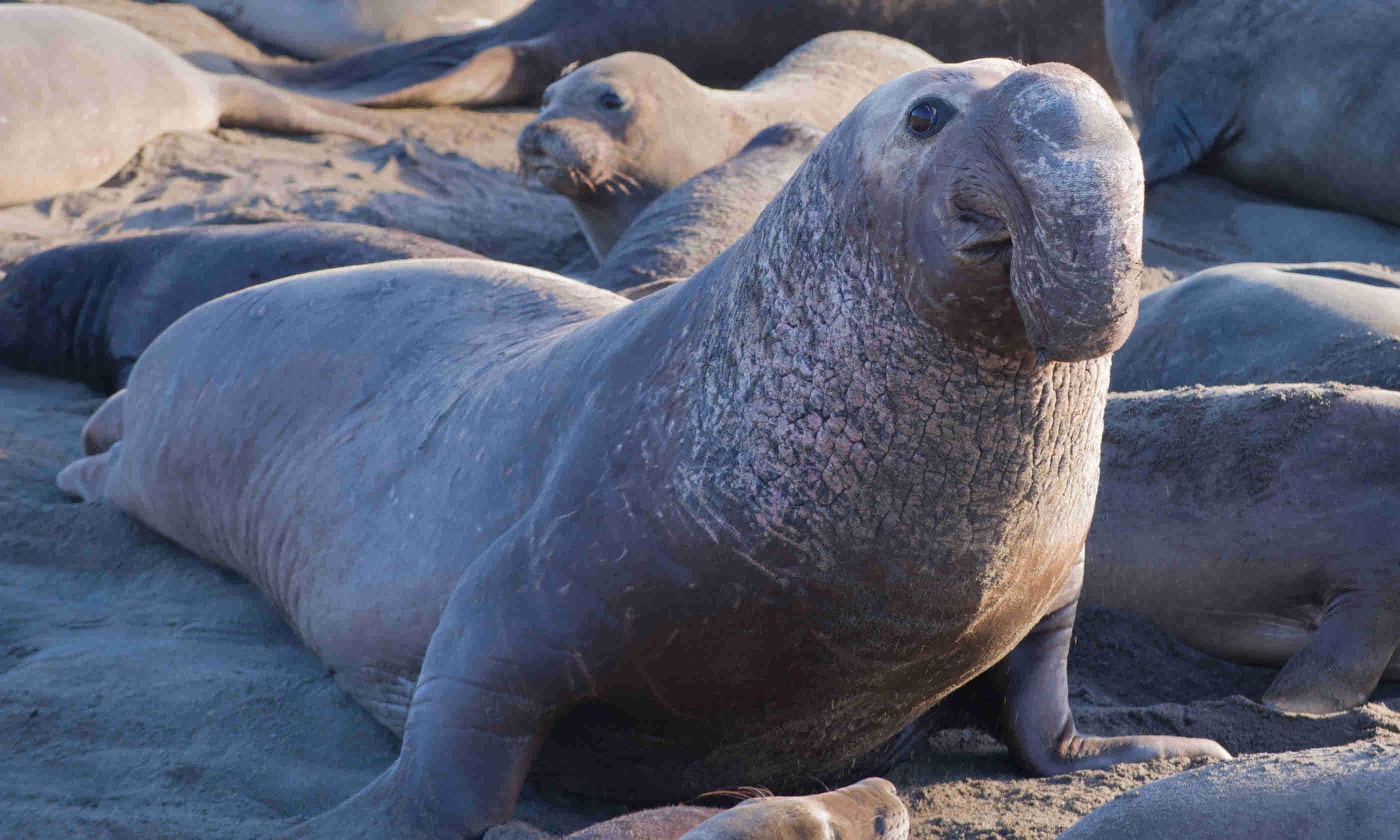 Elephant seal (Shutterstock)