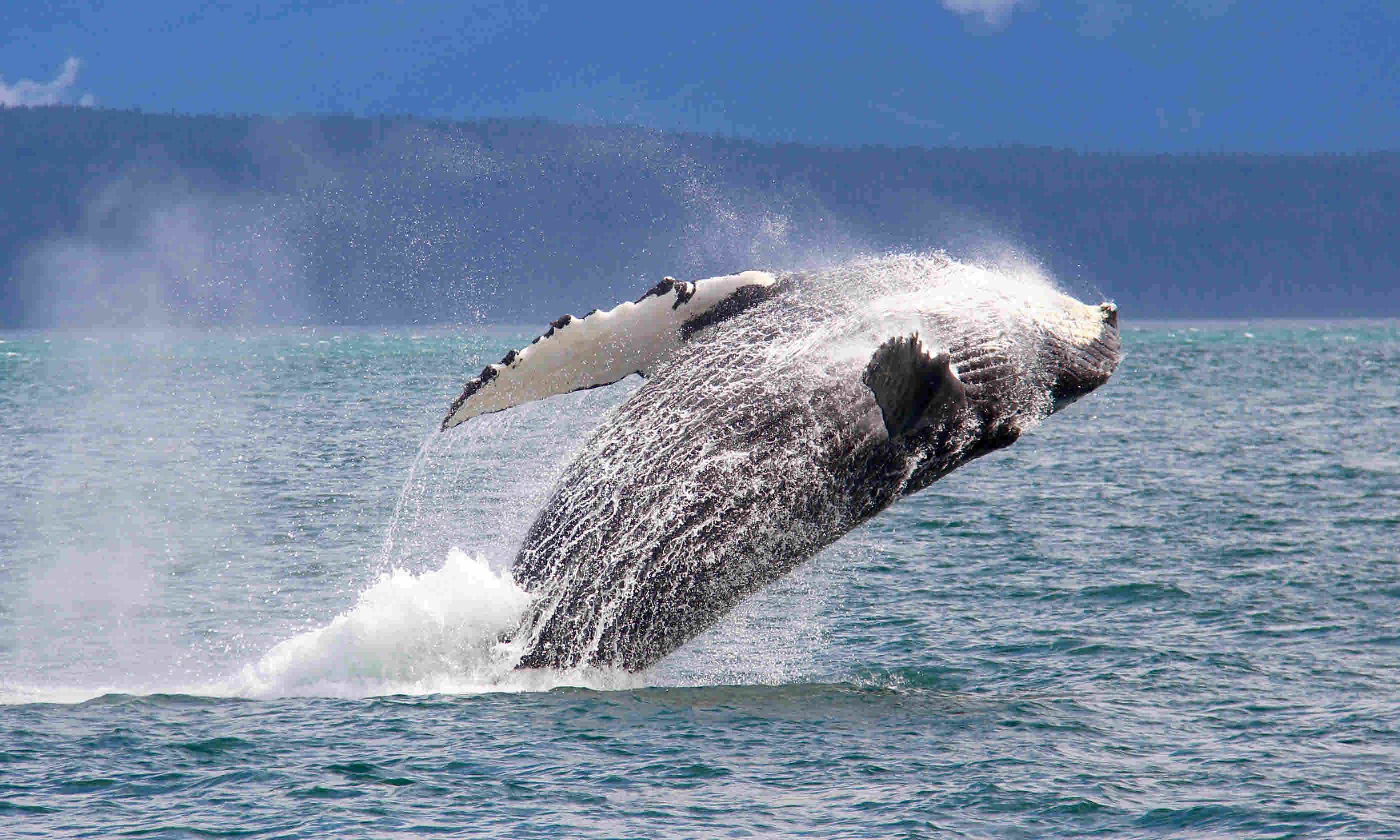 Humpback whale (Shutterstock)