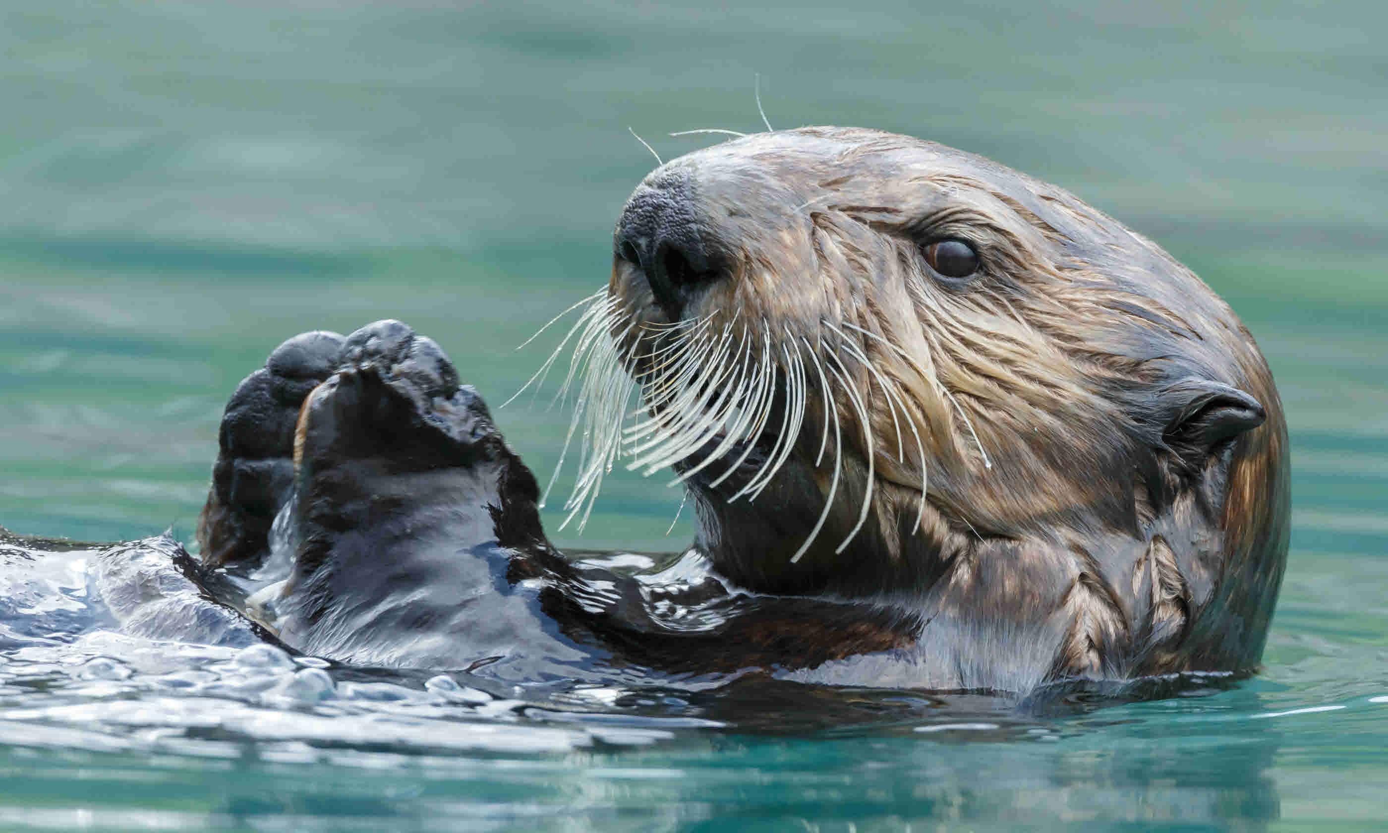 Sea otter (Shutterstock)