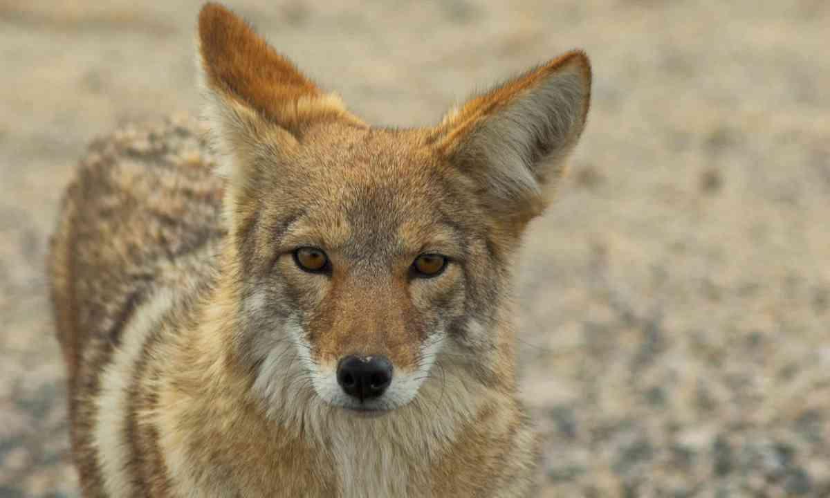 Coyote (Shutterstock)