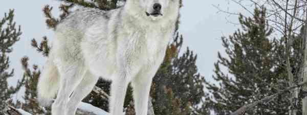 Grey wolf (Shutterstock)