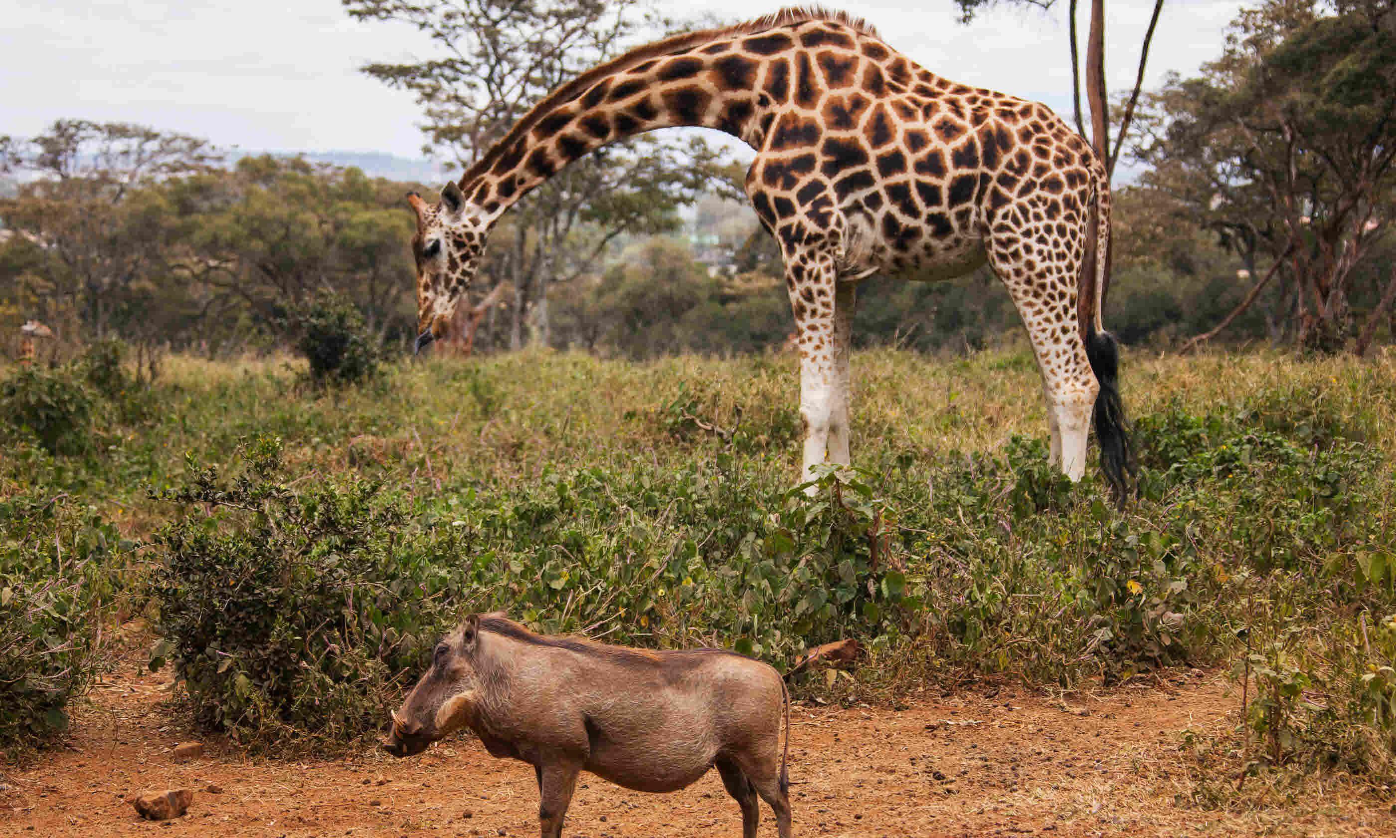 Giraffe Centre, Nairobi, Kenya (Shutterstock)