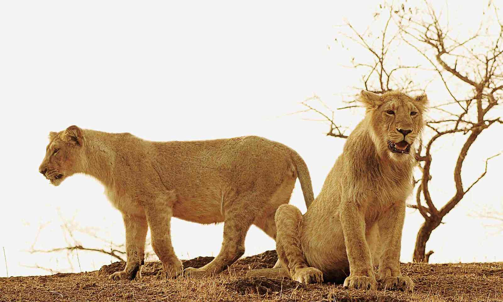 Lions in Gir forest (Dreamstime)