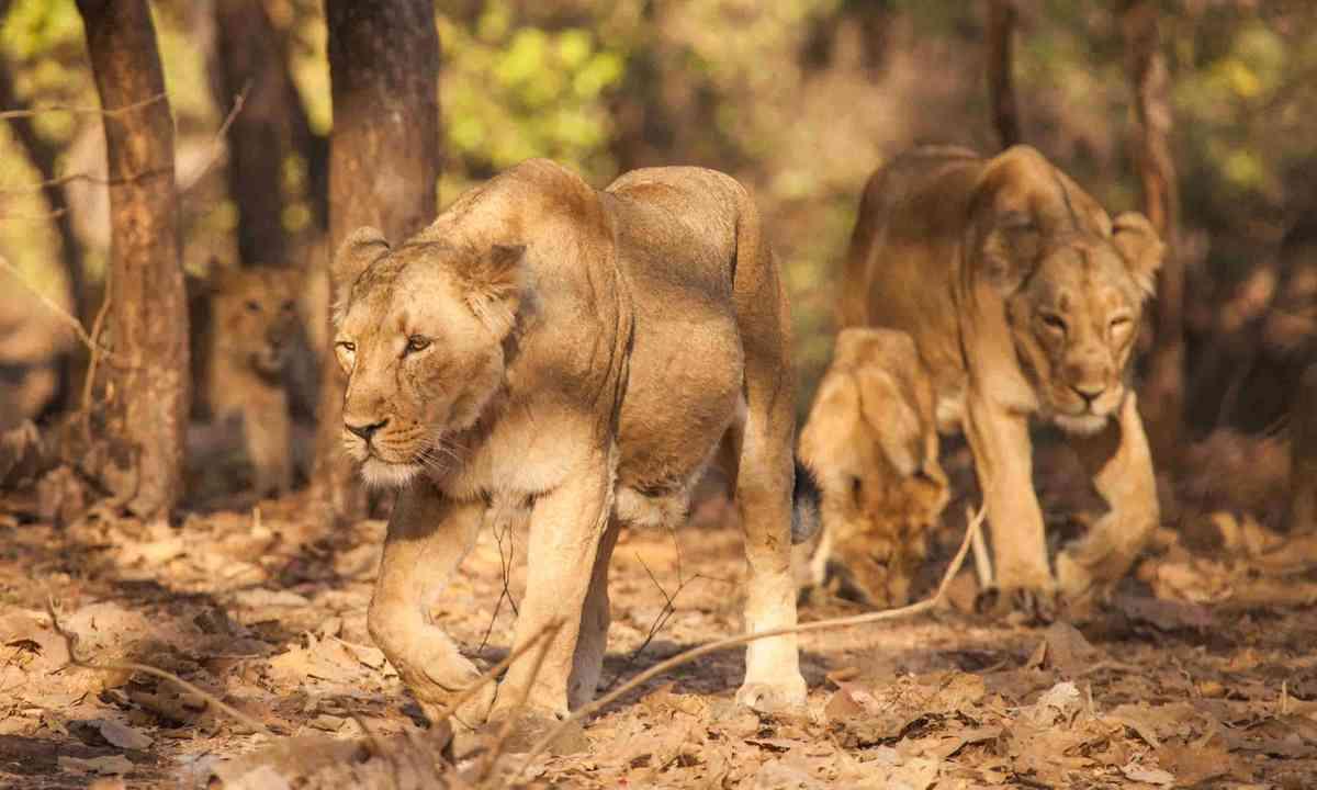 Asiatic lions in Gujarat, India (Shutterstock)