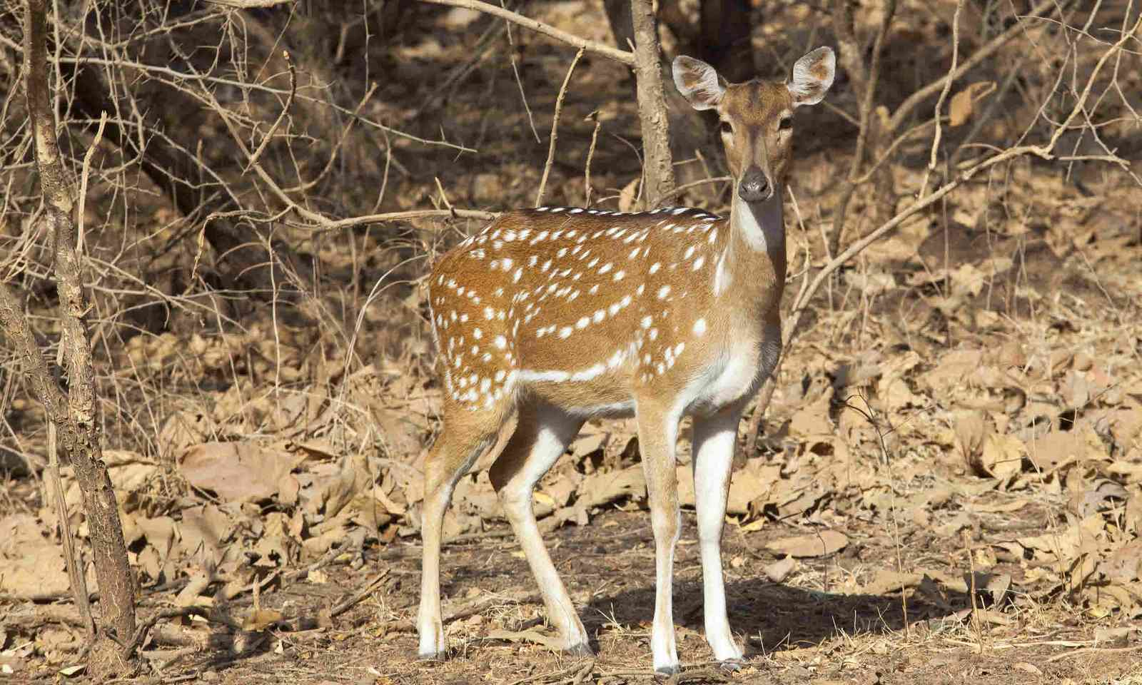 Female spotted deer in Gujarat, India (Shutterstock)