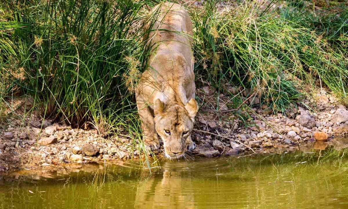 Asiatic Lion in India (Shutterstock)