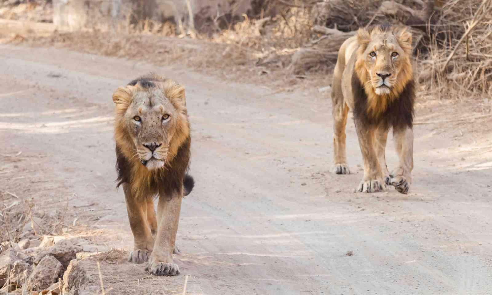Asiatic lions walking down road in Gujarat, India (Shutterstock)
