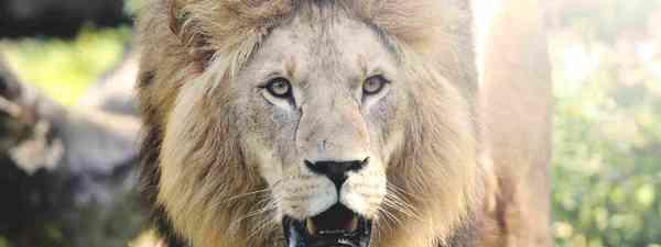 Wild lion in the forest (Shutterstock)