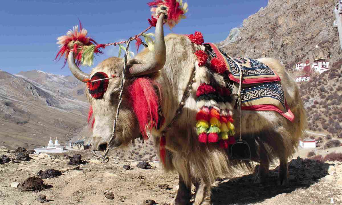 Decorated yaks (Tom Rhys)