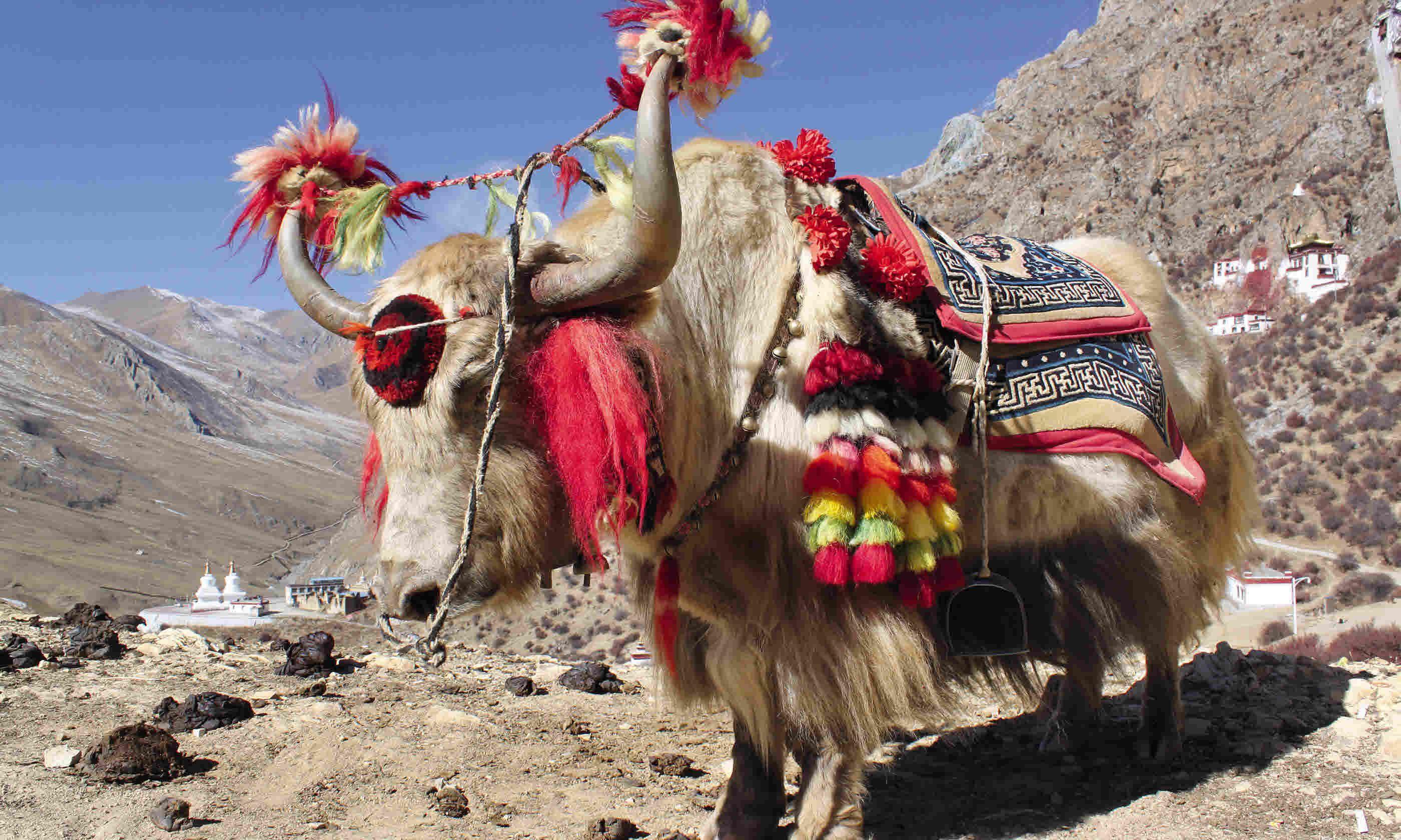 Decorated yaks (Tom Rhys)