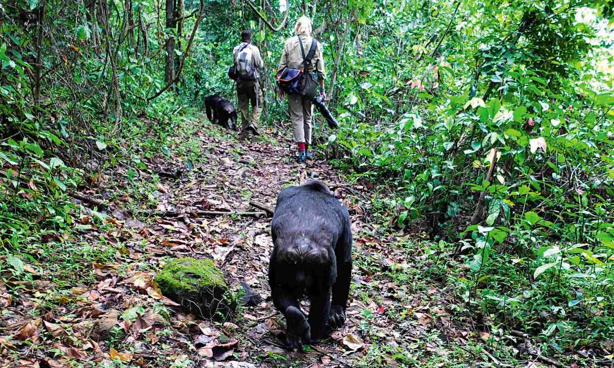 Walking with the chimps (Sarah Gilbert)
